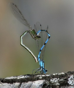 Dragon Flies mating | Betty Herbert